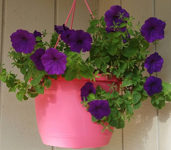 petunia shirley curry flowers purple pink gardening