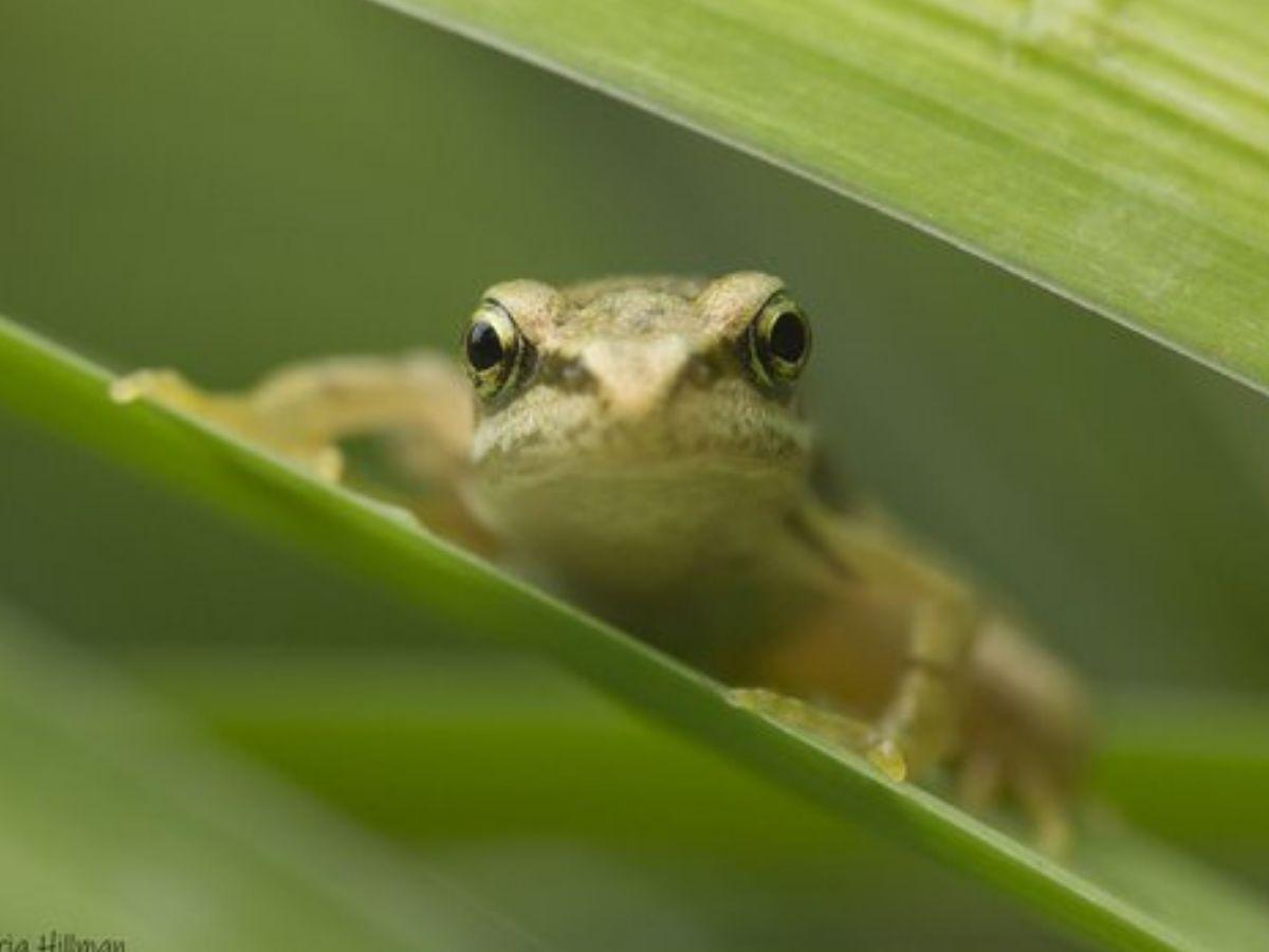 photo of frog peering over leaves