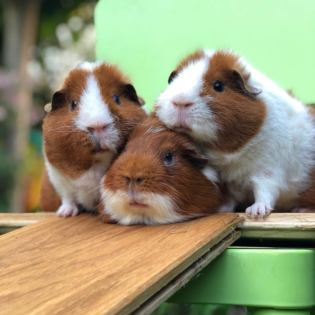 guineapigs from instagram