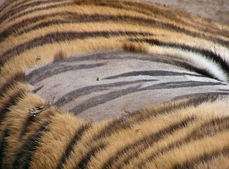 Tiger with shaved patch showing striped skin and striped fur