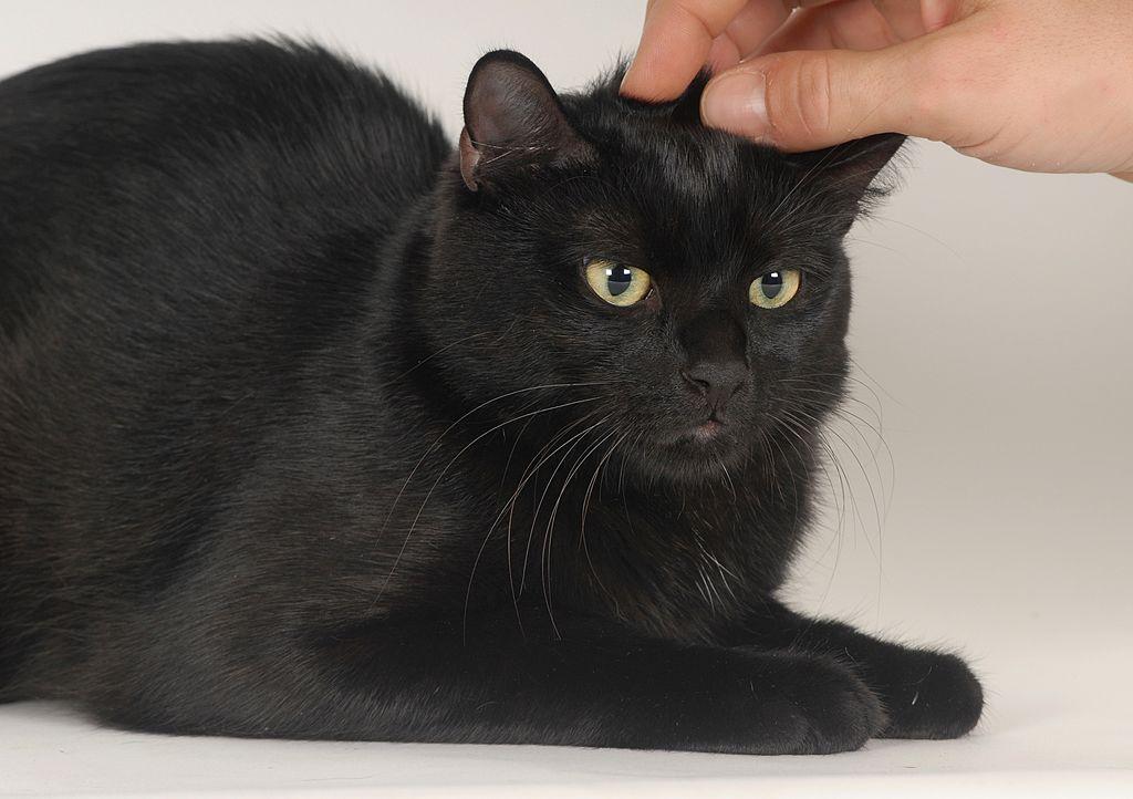 Petting cat
