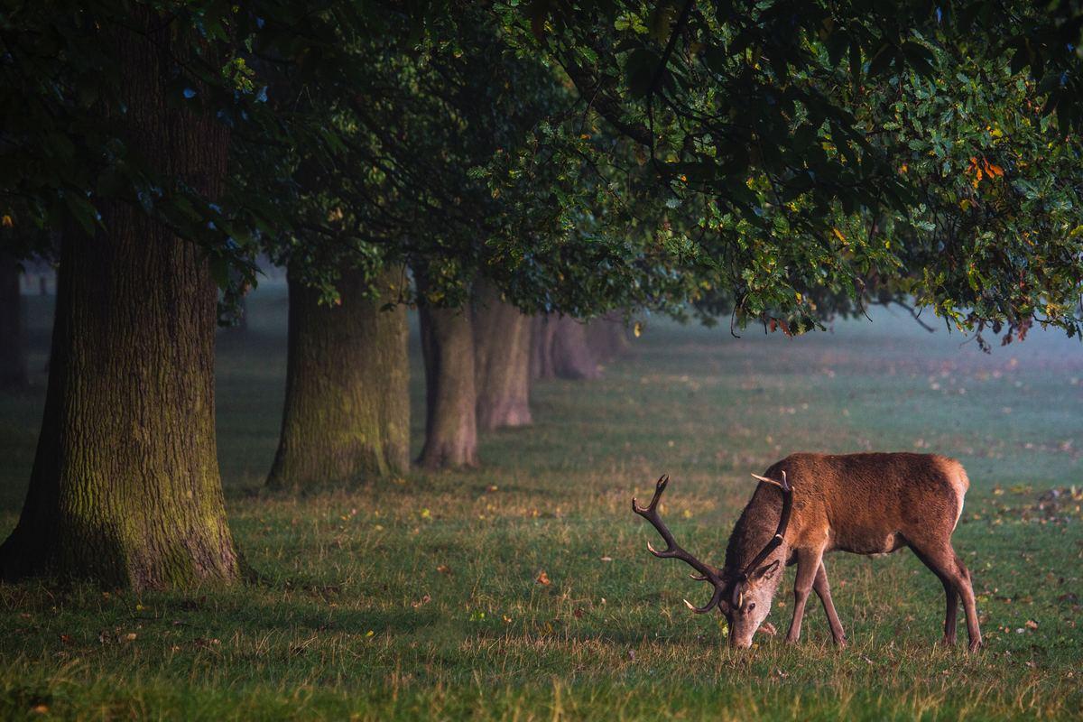 deer eating apples off ground
