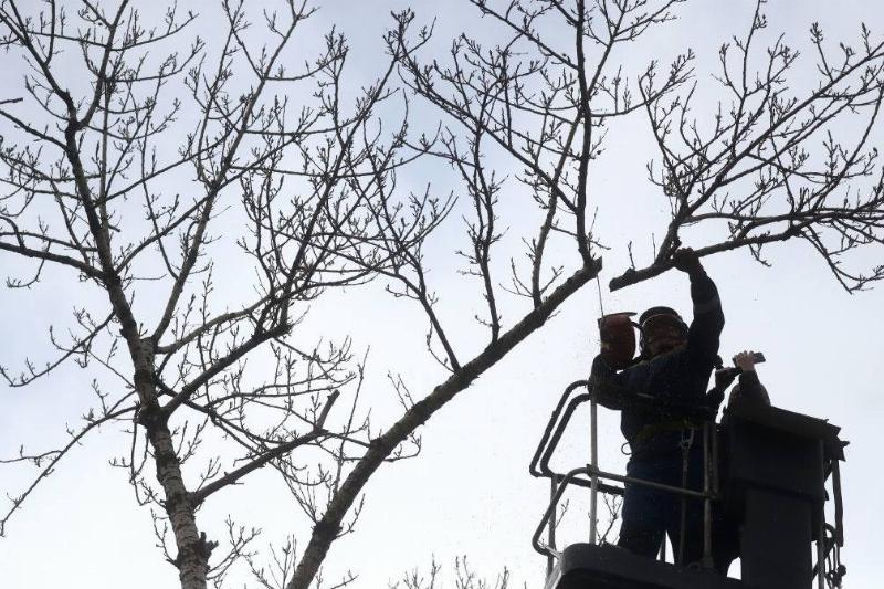 Cutting branches of poplar trees