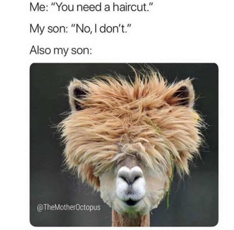 me: you need a haircut. My son: no I don't. Also my son: (photo of alpaca with hair covering eyes)