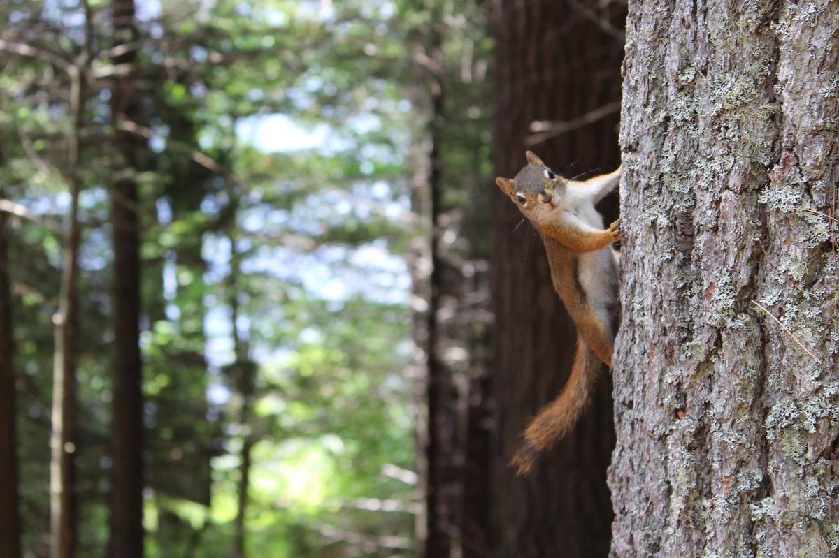 squirrel climbing tree in forest
