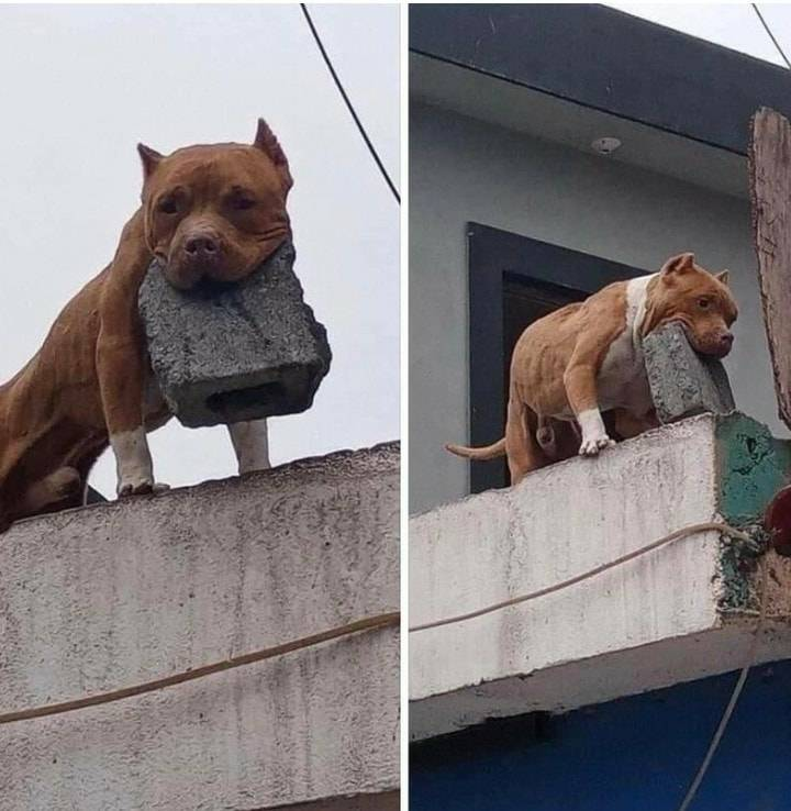 dog on roof with brick in mouth